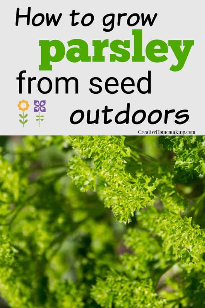 Easy tips for growing parsley outside from seed. One of my favorite beginning gardening tips!