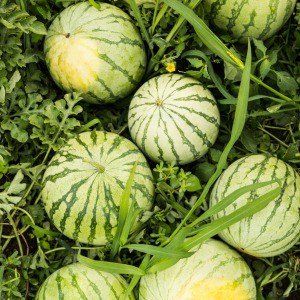 Tips for growing watermelons from seed. Where to plant watermelons, how to apply mulch, and common watermelon growing problems solved.