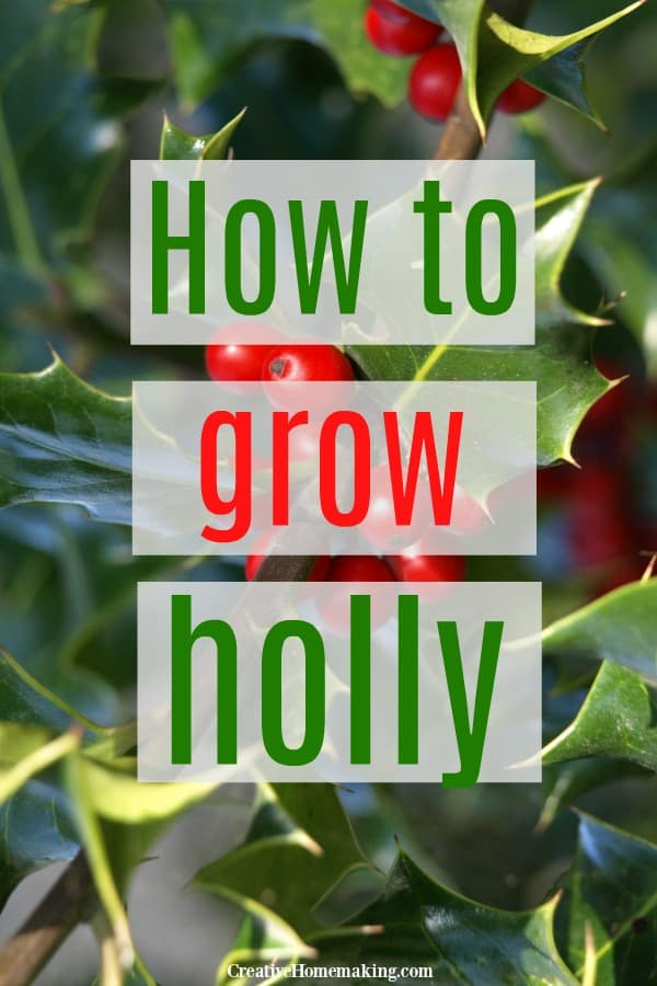 How to grow holly. Easy tips for growing holly in your garden. Great idea for outdoor holiday planters!