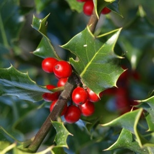 How to grow holly. Easy tips for growing holly in your garden.