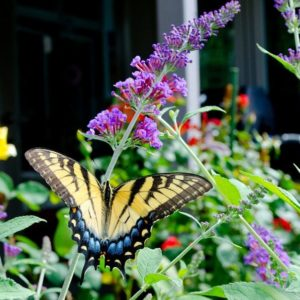 Tips for growing butterfly bushes in your garden. Butterfly Bush planting and care.