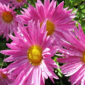 Complete guide to growing Asters. Planting and care of asters, a perennial flower favorite.