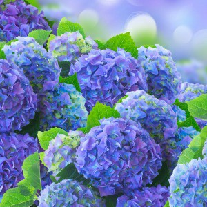How to grow hydrangeas from cuttings. One of my favorite flower garden ideas for beginners.