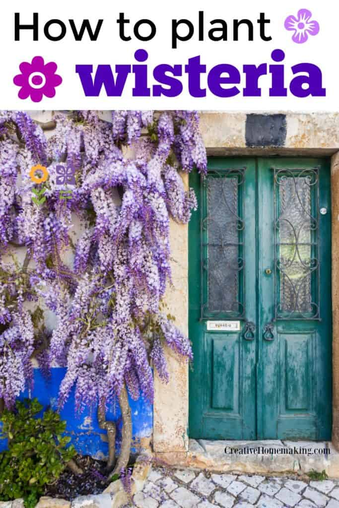 Expert guide for planting and caring for wisteria vines in your garden.