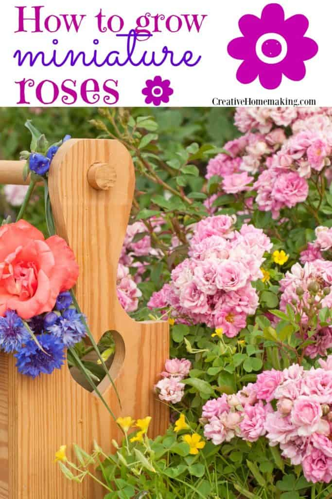 How to care for miniature roses outdoors in your garden.