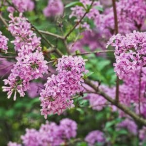 Best tips for planting and growing lilacs in your flower garden.