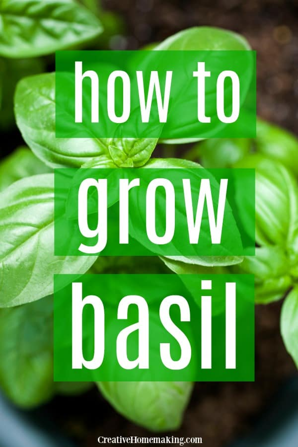 How to grow basil indoors, outdoors, in a pot, or from seed. One of my favorite herbs to grow in pots indoors to have fresh basil year round.
