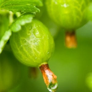 Easy tips for propagating and growing gooseberries, one of my favorite garden plants!