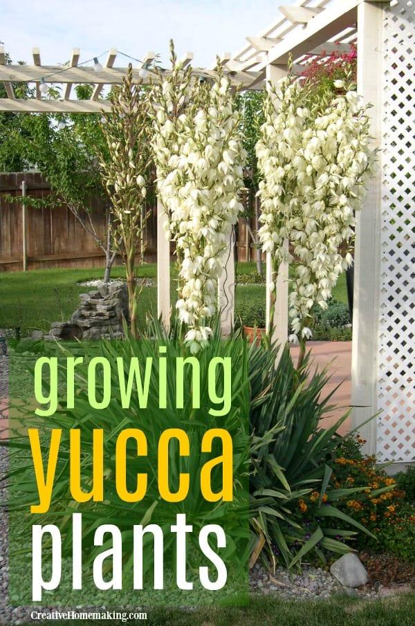 growing yucca