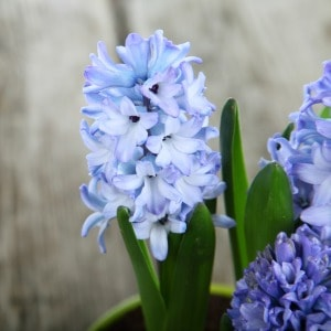 Blue hyacinths growing in a pot