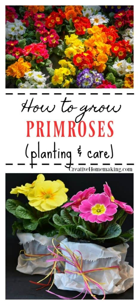 How to grow primroses. Learn how to grow this favorite spring flower. Easy instructions for planting and care.