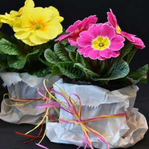 How to grow primroses. Primroses are one of the first flowers that can be planted in the spring. Find out how to select them, care for them, and plant them.