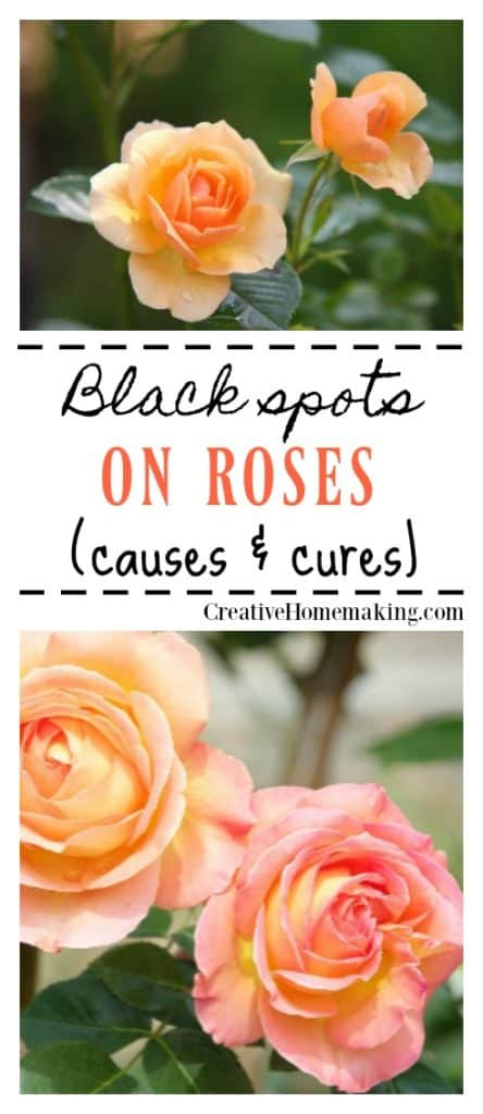 Black spots on roses. Causes and cures of black spots on roses in your flower garden.