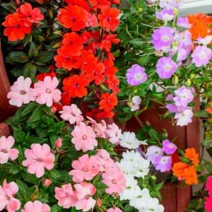 Multi color impatiens flowers