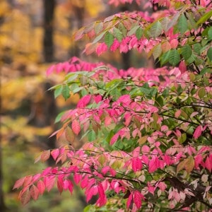 Tips for growing burning bushes in your flower garden.