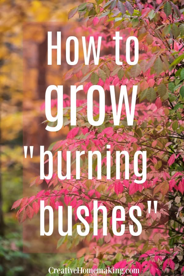 Tips for growing burning bushes in your flower garden. An excellent shrub for a border or hedge.