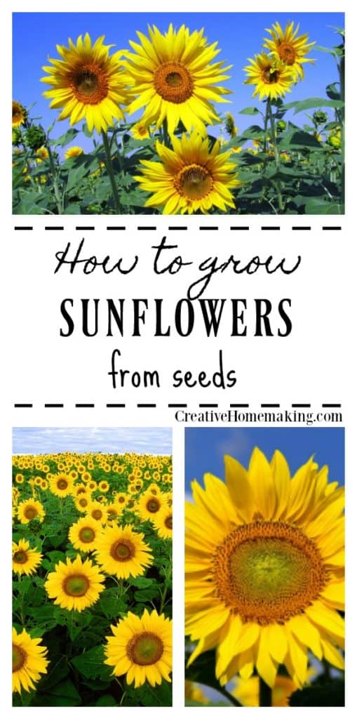 Easy tips for growing sunflowers from seed.