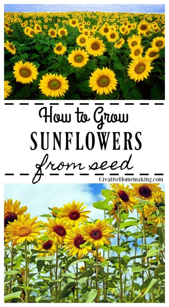 Easy tips for growing sunflowers from seeds.