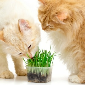 Medicinal uses for catnip. How to grow catnip, how to use catnip to make tea, and more.