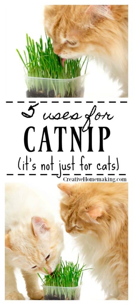 Cats eating a catnip plant
