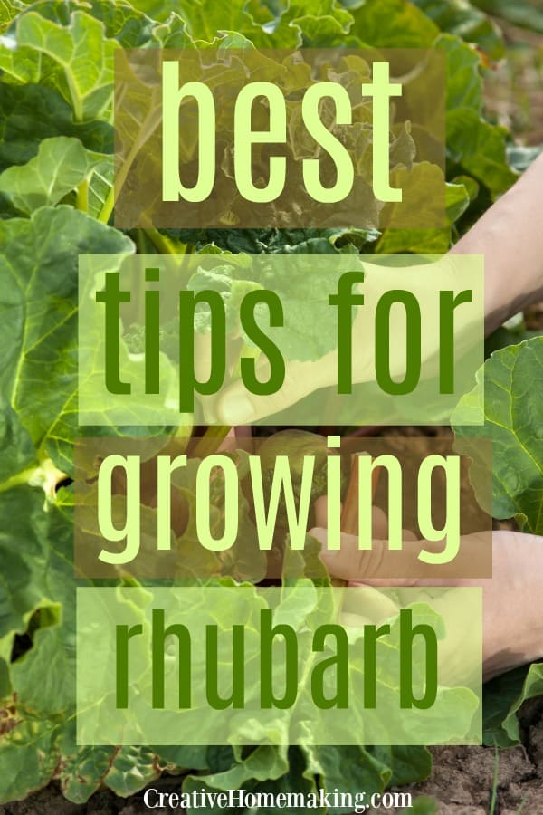 Easy tips for growing rhubarb in your vegetable garden. When to plant rhubarb, how to plant rhubarb, and easy rhubarb recipes.