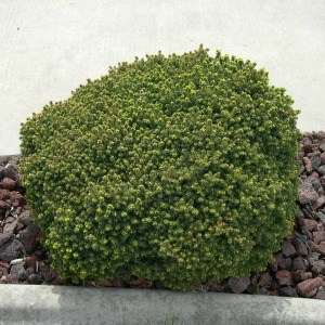 Beginner's tips for growing bird's nest spruce, a low maintenance shrub that is great to plant along sidewalks or walkways.