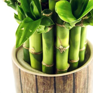 Lucky bamboo care and tips. How to care for lucky bamboo in water arrangements.