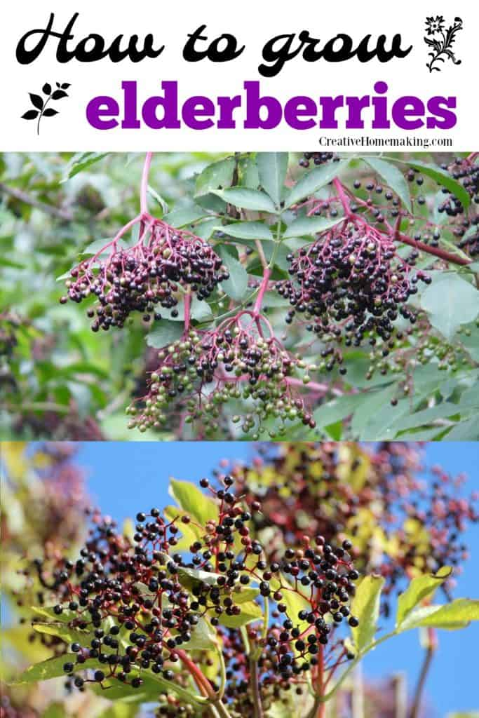 Easy tips for growing elderberries in your yard.