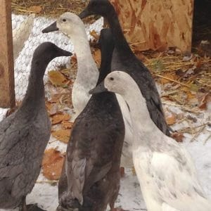 Tips for taking care of ducks during the winter months.