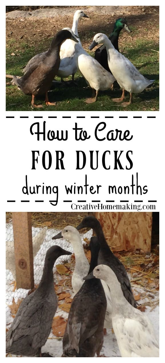 Winter duck care. Tips for taking care of ducks during the winter months.