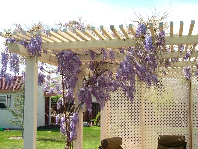 Easy tips for growing wisteria vines on your patio or pergola.