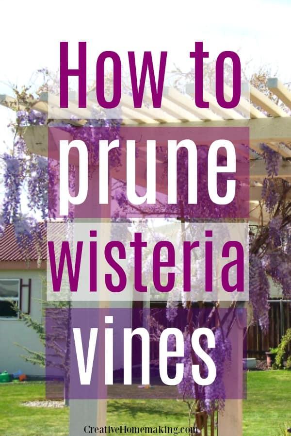 Easy beginning gardening tips for pruning wisteria vines.