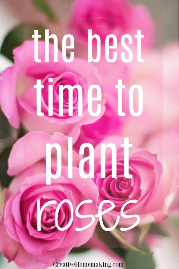 The best time of year to plant roses in your flower garden.