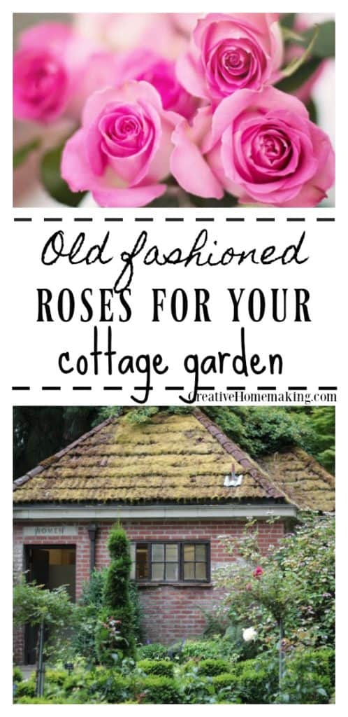 Growing old fashioned roses, information on growing and caring for old-fashioned or old roses in your flower garden.