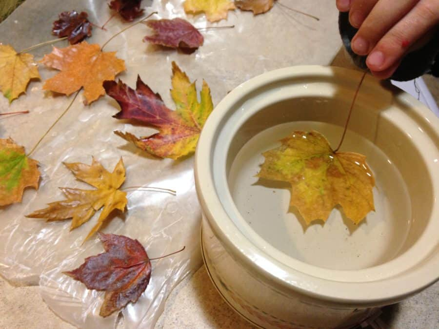 Waxing fall leaves. Easy instructions for making waxed fall leaves for autumn or Thanksgiving decorations.