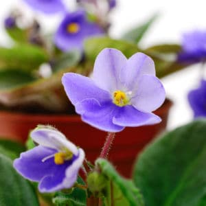 African violet care and how to bring an African Violet back to life!