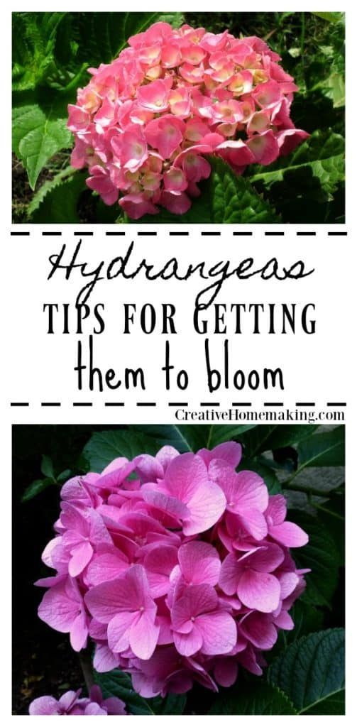 Expert tips for getting your hydrangeas to bloom.