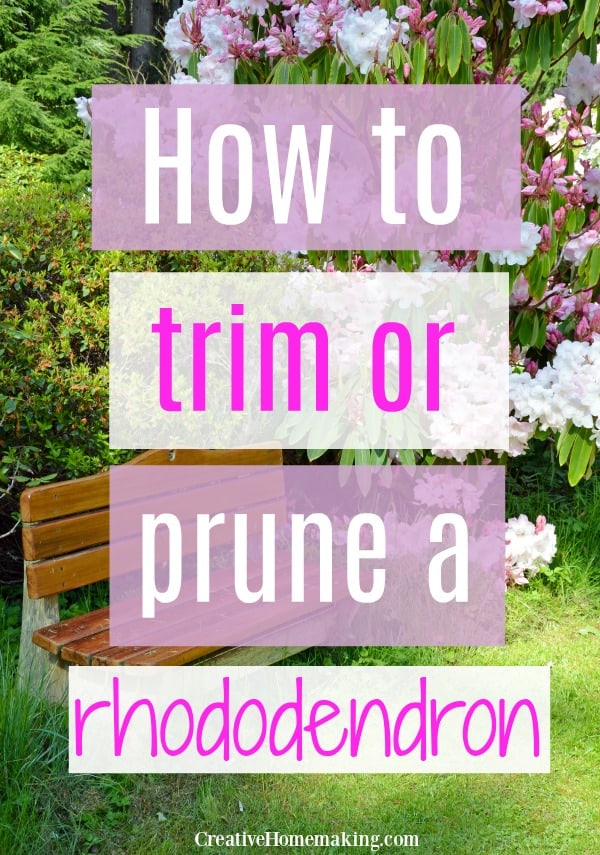 Easy gardening tips for pruning rhododendron plants.