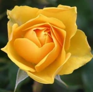Tips for growing beautiful roses.