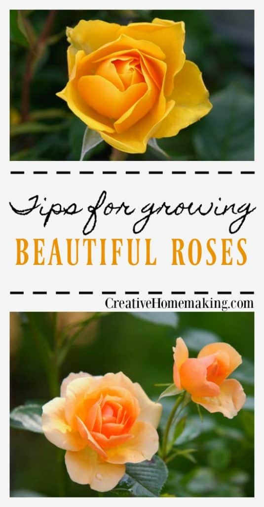 Growing Roses   How to grow roses and and how to care for and prune roses.