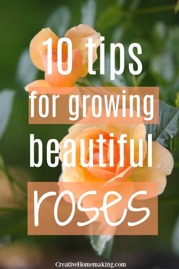 The best 10 tips for growing beautiful roses in your flower garden.