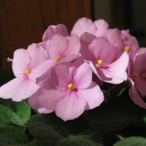 African Violets require special care. Find out the kind of pot you need, the amount of sun the plants need, and how to water them.
