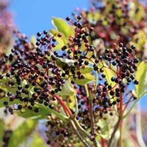 Elderberry varieties and uses. Not only are elderberries great for making jams and syrups, they are also a favorite for butterflies and other wildlife.