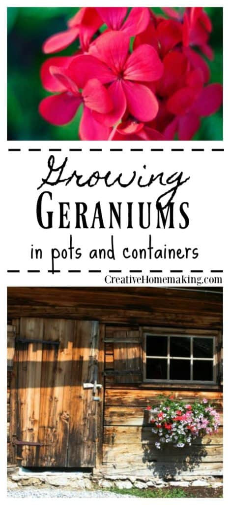 Geranium care. Tips on planting, growing, and caring for geraniums in pots or containers.