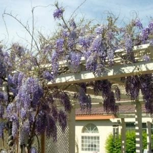 Expert tips for growing and caring for wisteria vines. Wisteria grown from seed can take up to 10 years to bloom!