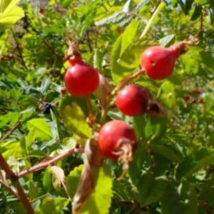 Harvesting rose hips. Information on growing, harvesting, and cooking with rose hips. Includes a recipe for rose hip marmalade.