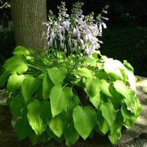 Hostas come in many varieties. These easy hosta care tips will help ensure the hostas in your garden remain virtually maintenance free.
