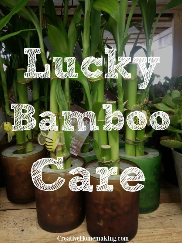 Lucky Bamboo is an attractive, indoor Oriental houseplant. These tips will help ensure your Lucky Bamboo gets the best possible care.