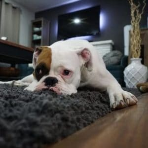 Expert cleaning tips for removing dog urine stains from carpet.