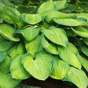 How To Fertilize Hostas Creative Homemaking